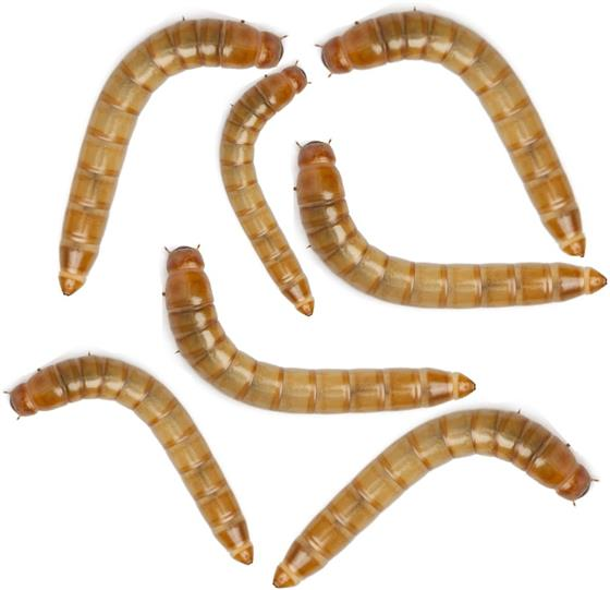 Live Mealworms (Giant) 500 Pack