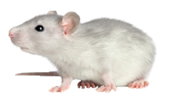 Rat Products