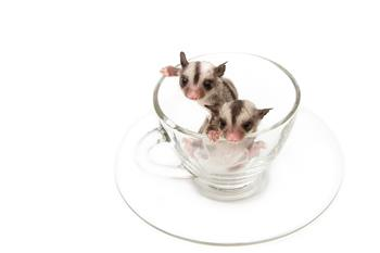 Baby Sugar Gliders in Cup