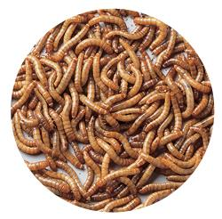 Medium Live Mealworms 1000 Pack