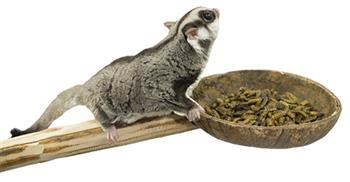 Sugar Glider with Coconut Cup