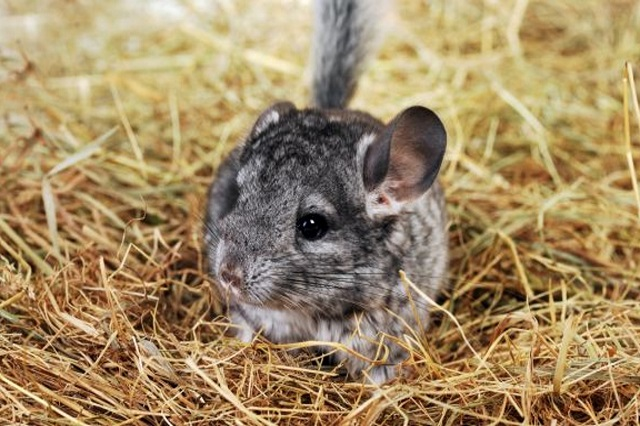 Best chinchilla hay