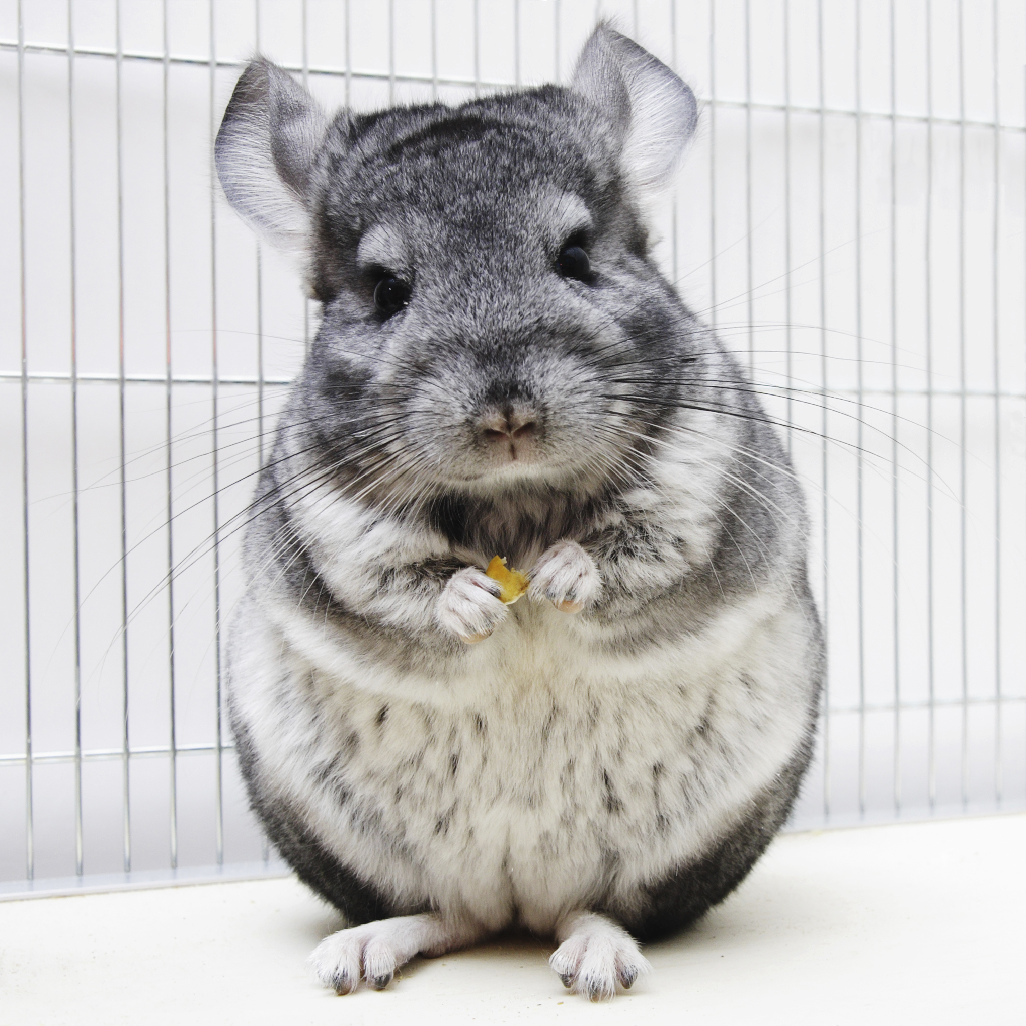 Chinchilla Treat