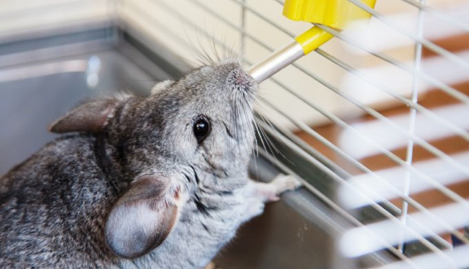 Chinchilla Water Bottle