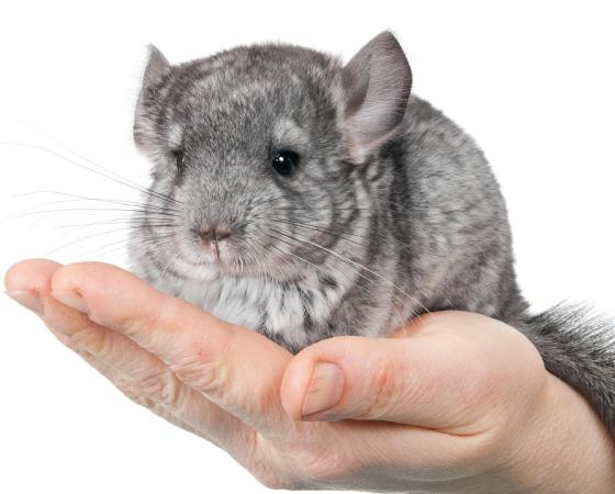 Handling Your Chinchilla