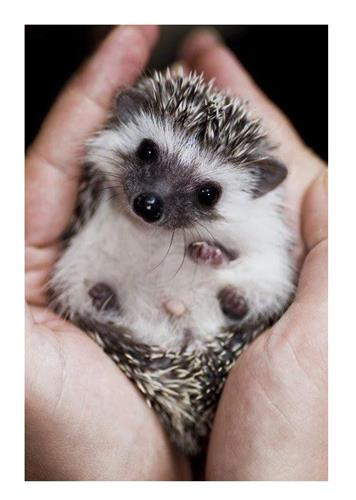 Hand Raising Baby Hedgehogs Exotic Nutrition