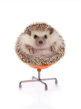 Hedgehog in Chair