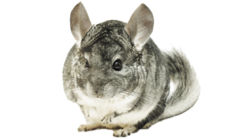 Chinchilla Treats