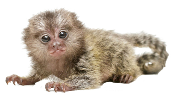 Marmoset Food