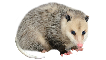 Opossum Treats
