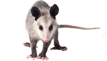 Opossum Products - Exotic Nutrition