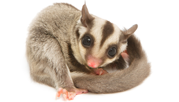 Sugar Glider Treats