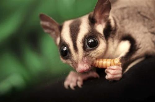 Sugar Glider Eating Mealworm