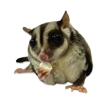 Sugar Glider Eating Yogurt Drop