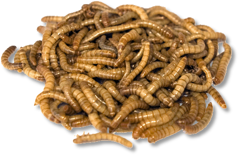 Live Mealworms (Medium) 500 Pack