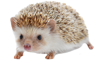 Hedgehog Care