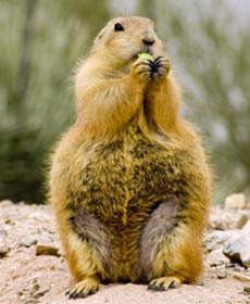 Prairie Dog Food Exotic Nutrition